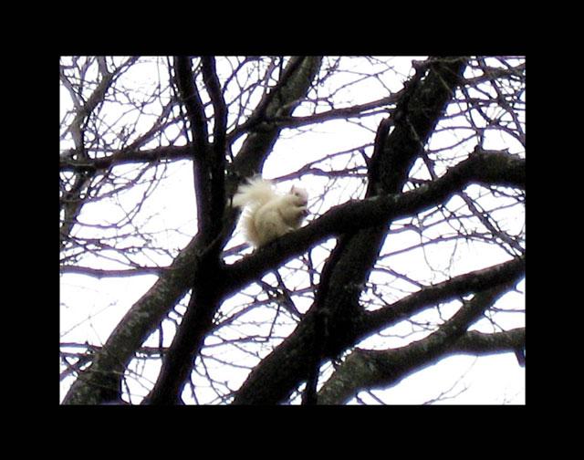 white squirrel 2b