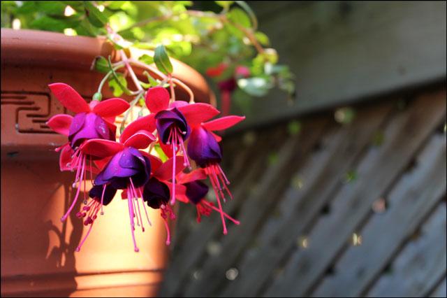 fuschia plant