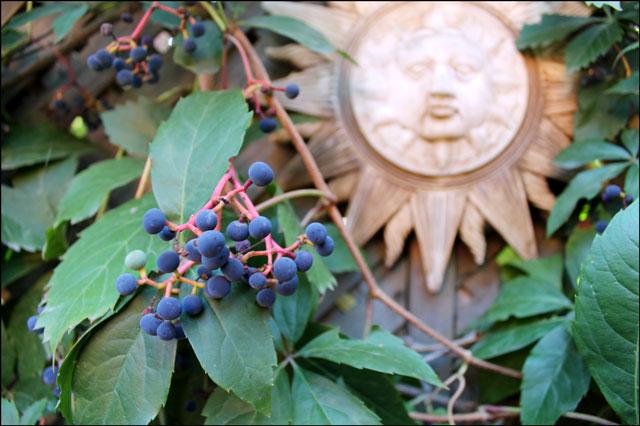 ripened vine