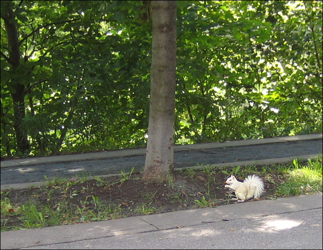 white squirrel 02