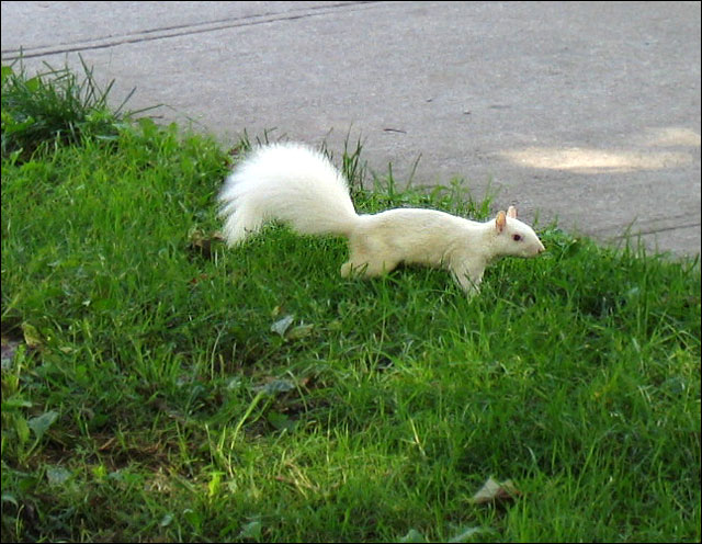 white squirrel trinity bell
