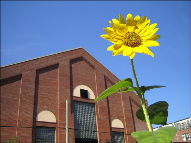 yellow flower old building