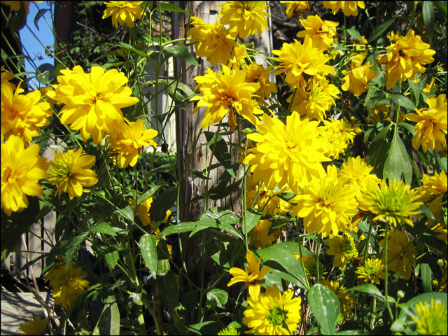 yellow flowers1