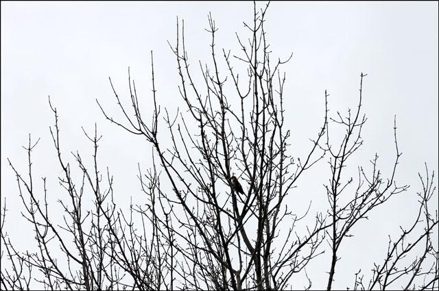 falcone in a tree