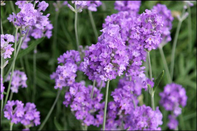 lavender in flower in June