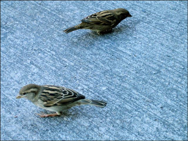 little brown birds