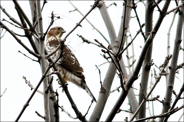 perigrine falcon oct 2012 t
