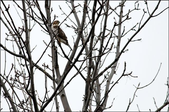 perigrine falcon toronto oc