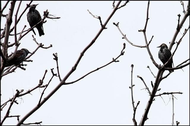 starlings close up