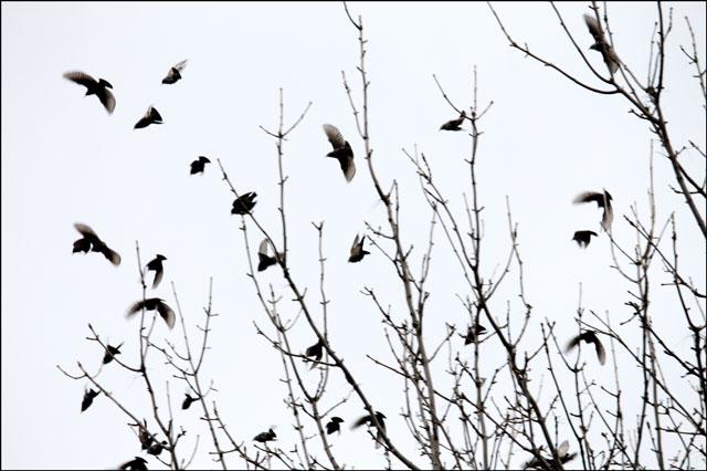 starlings flying
