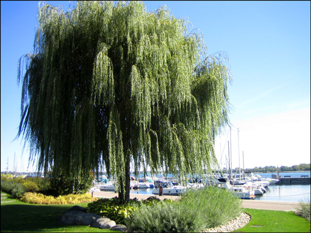 weeping willow on waterfron