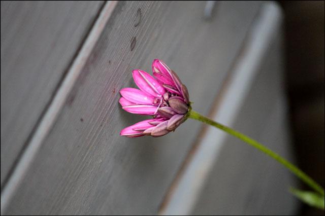 last purple flower