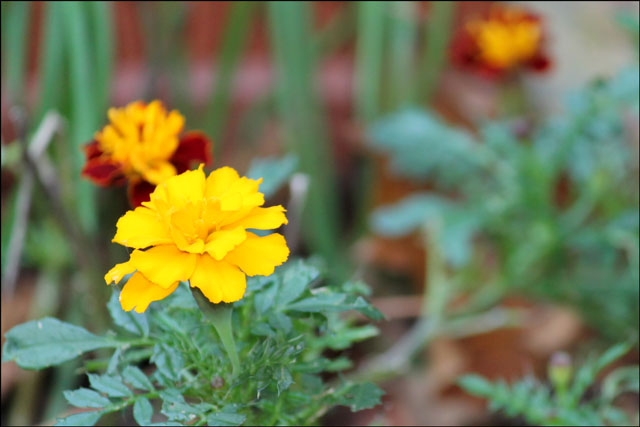 marigold in the fall