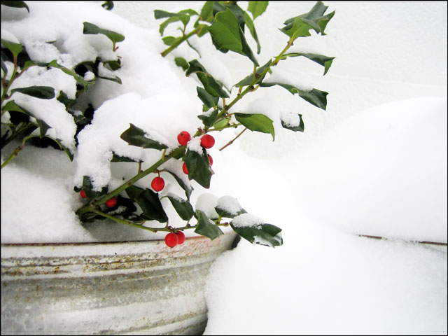 holly-berries in the snow-01
