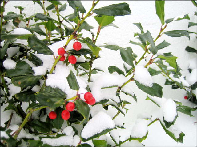 holly-berries-in the snow 02