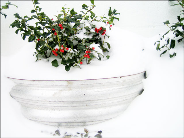 holly-berries-in-the-snow-03
