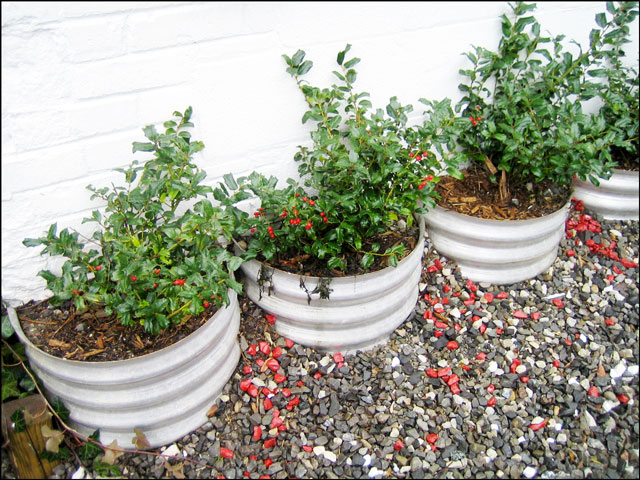holly-plants-in-a-row