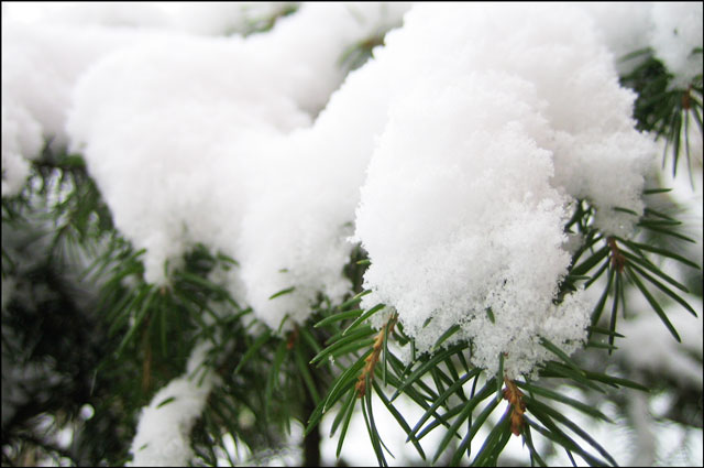 pine-tree-in-the-snow