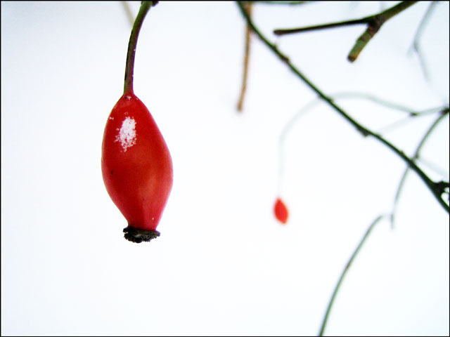 rosehips-in-the-snow-03
