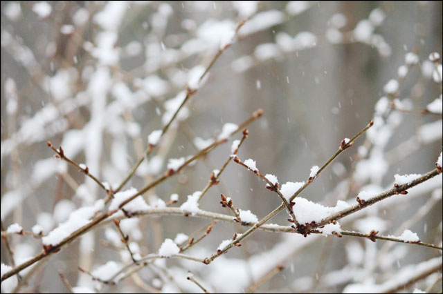 snow-falling-on-branches