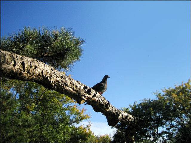 pigeon-on-a-branch