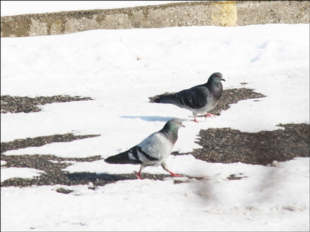 pigeons-in-the-snow