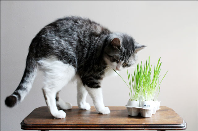 eddie with cat grass in eggshells
