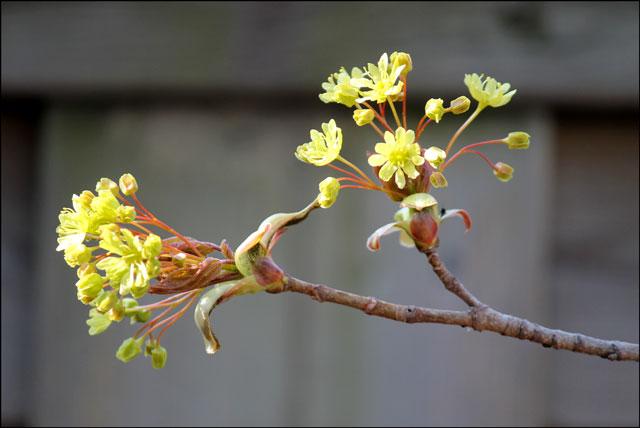 maple-tree-blossom
