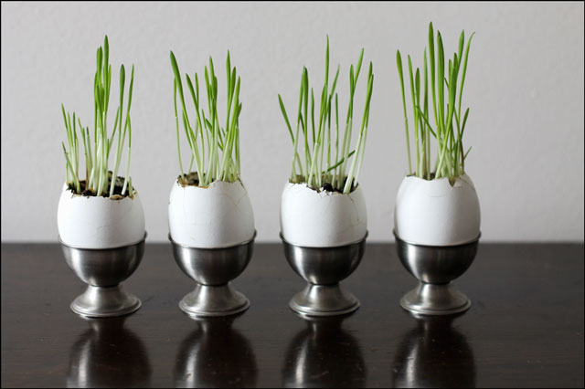 wheat grass grown in eggshells