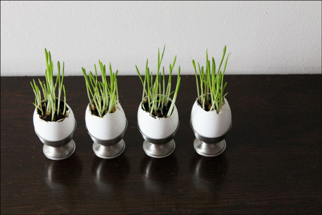 wheat grass planted in eggshells
