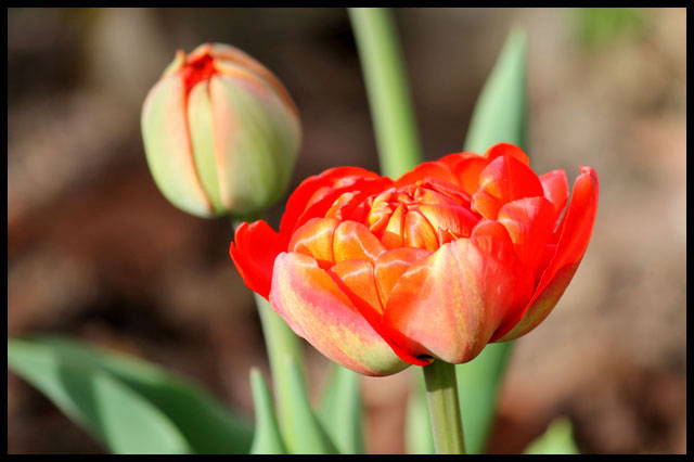 big-red-tulips