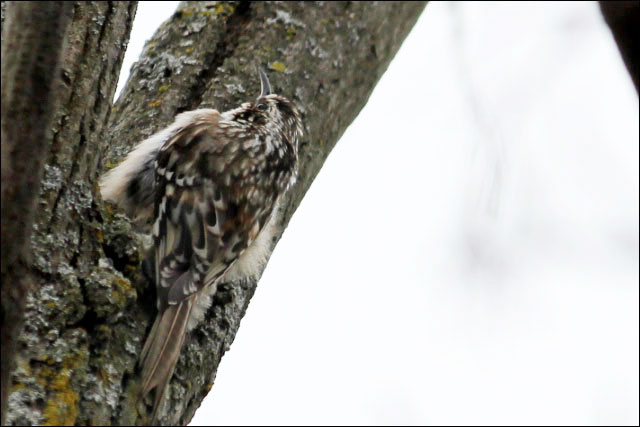 brown-creeper-camouflage
