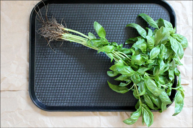 fresh-basil-with-roots