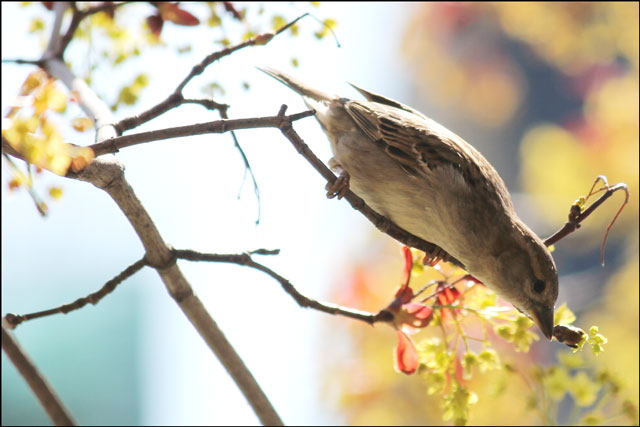 sparrow-feeding