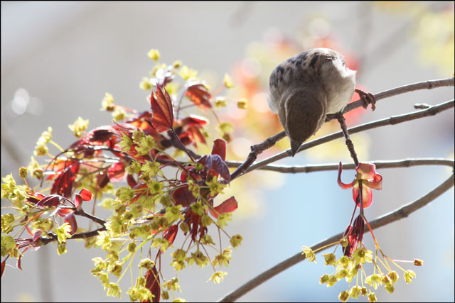 sparrow-in-maple-tree-03