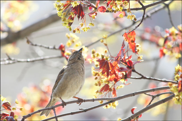 sparrow-in-maple-tree-04