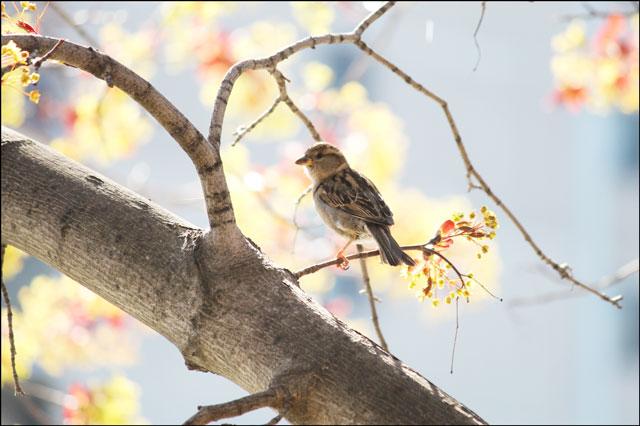 sparrow in maple tree 07