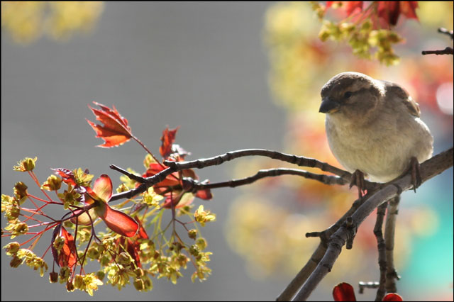 sparrow-in-maple-tree