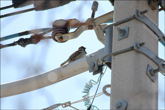 sparrow watching nest