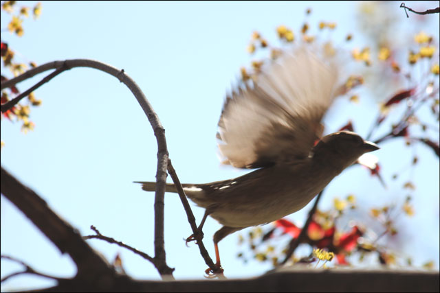 sparrow wings up