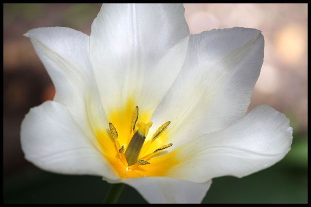 white-and-yellow-tulip