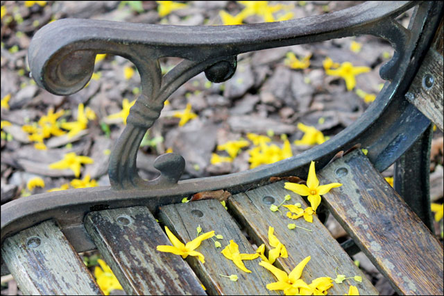 bench-with-forsythia