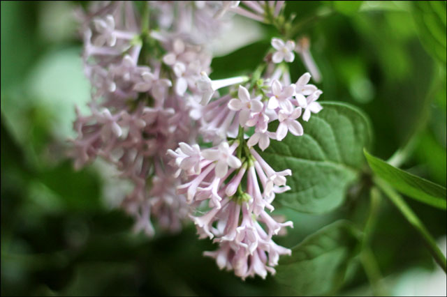 lilac flowers 2