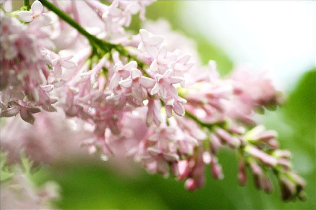 lilac-outside