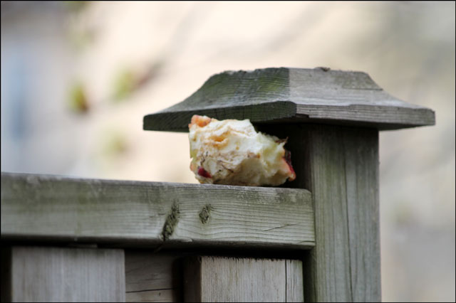 apple-abandoned-by-squirrel