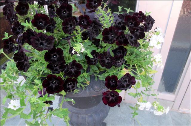 black-pansies