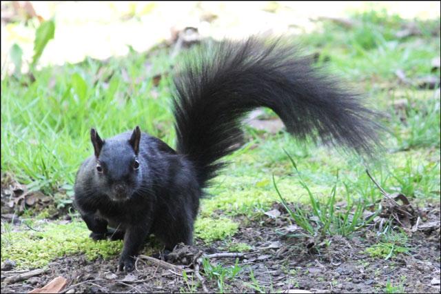 black-squirrel-in-toronto