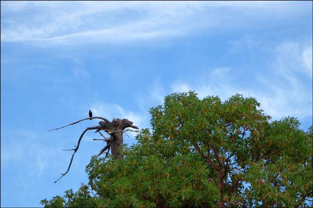 blackbird-in-a-dead-tree