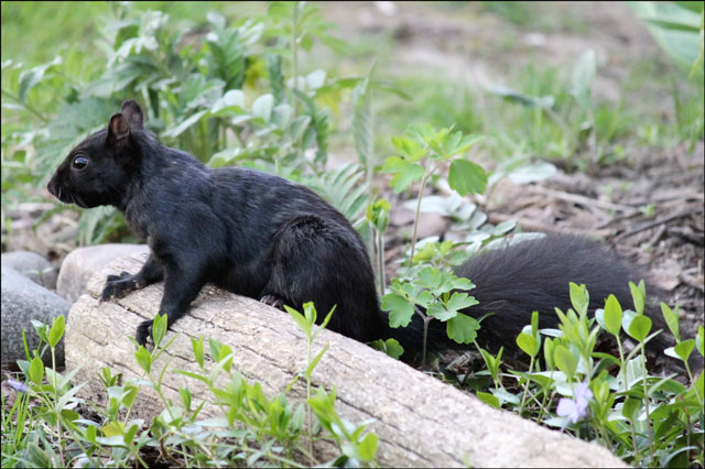 cute-black-squirrel