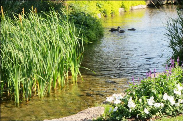 ducks-on-pond